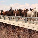 Massive Herd of Horses Crossing a Bridge