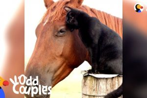 Cat-Rides-His-Favorite-Horse-Every-Day-CHAMPY-MORRIS-The-Dodo-Odd-Couples