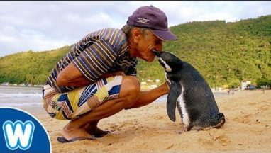 Penguin Travels 5000 Miles Every Year to Visit Man Who Saved Him