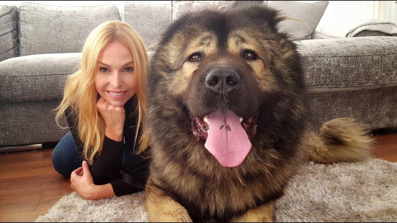 Wolf Killer The Caucasian Shepherd Ovcharka Dog 1funny Com