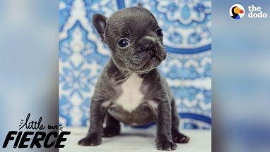 Teeny-Tiny-Imperfect-Puppy-Is-100-Perfection-The-Dodo-Little-But-Fierce
