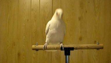 Funny Dancing Parrot