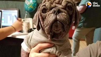 Stray Pug Makes The Most Amazing Transformation