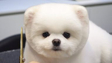 Patient Pomeranian Gets Groomed Into a Teddy Bear