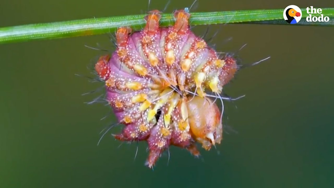 Watch This Caterpillar Turn Into A Chinese Luna Moth