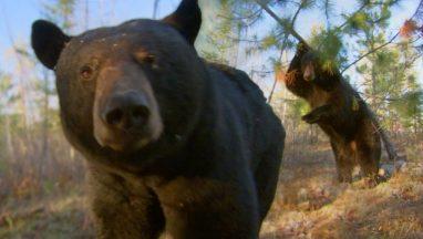Dancing Black Bears in the Woods