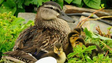 Ducklings First Time Swim In Creek