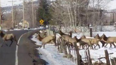 Young Elk Herd Crossing the Road
