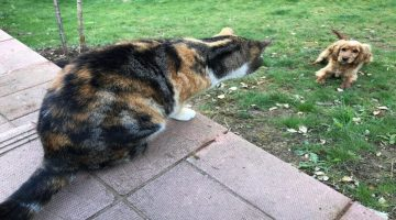 Cats Never Let Neighbor's Dog Enter Garden