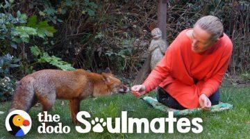 Woman Befriended a Wild Fox