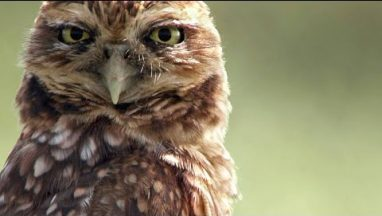 You've Never Seen an Owl Species That Does This