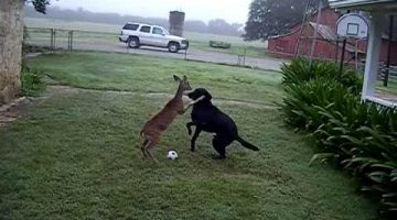 Dog Playing Soccer with a Deer