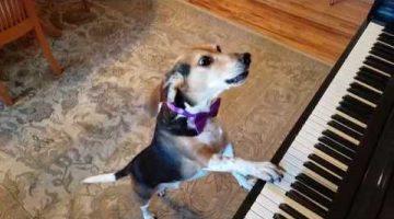 Buddy Mercury, The Singing Piano Dog