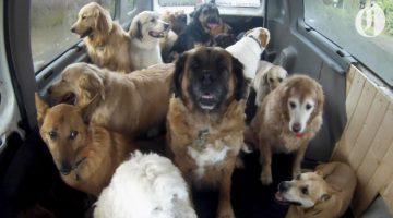 Doggie School Bus Picks Up Pups for 'School'