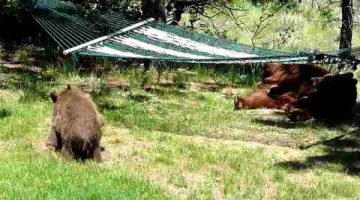 The Three Little Bears Playing on a Hammock