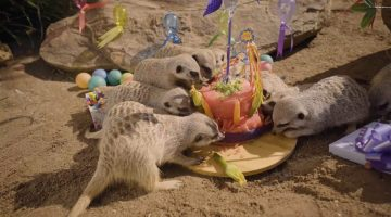 Meerkat Birthday Celebration