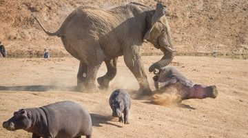 Mother Elephant Defends Her Baby From Two Hippo