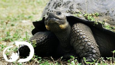 The Biggest Tortoise In the World