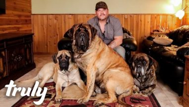 My Monster Mastiff Weighs 250lbs