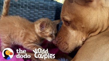 Watch This Kitten Grow up with a Pit Bull   the Dodo Odd Couples