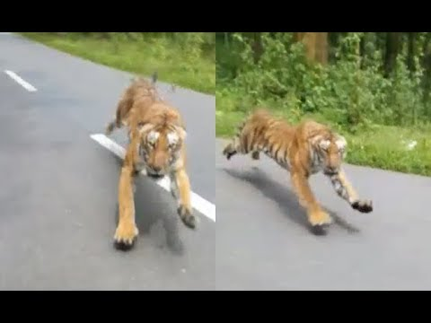 Tiger Chases Man On Motorcycle – 1Funny.com