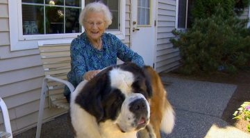 The Special Friendship Between a Neighbor and Brody, the ST. Bernard
