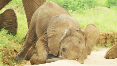 Baby Elephants are So Clumsy!