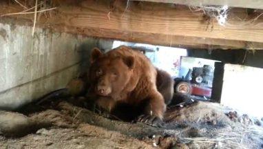 A Really Big Black Bear Encounter