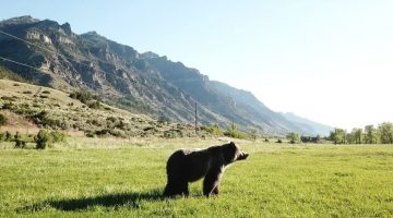 Dandie the Grizzly Bear