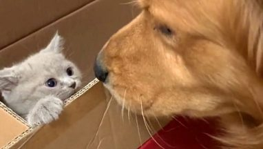 Lonely Golden Retriever Gets a Cute Kitten Friend
