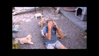 Golden Retriever Puppy Attack