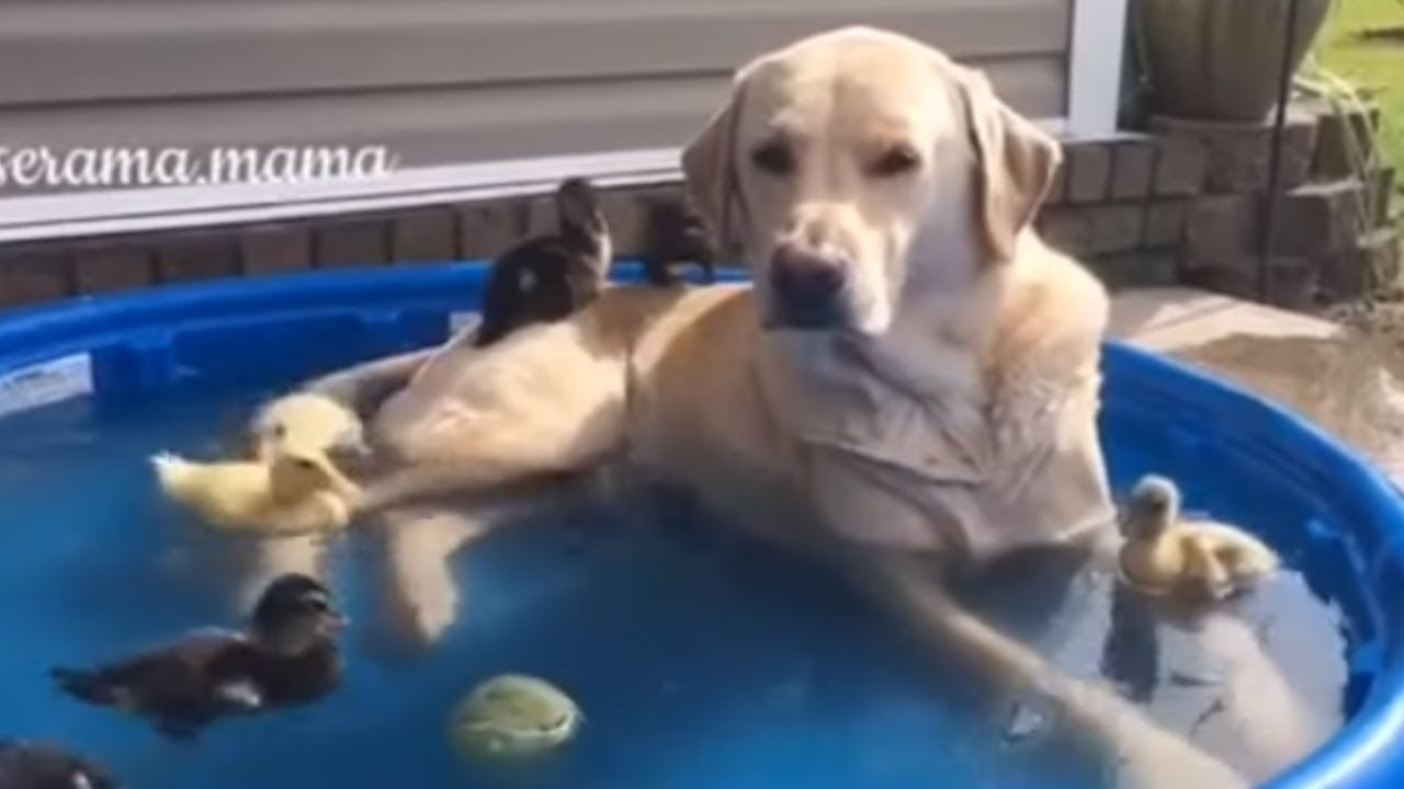 Labrador Dog Lounges In Pool With Baby Ducks 1funny Com