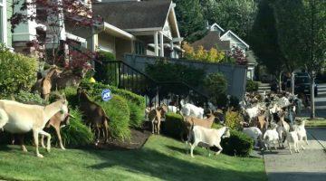 Goats Escape into the Suburbs