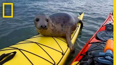 Adorable Seal Catches a Ride on a Kayak