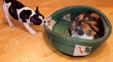 Puppy Adorably Battles Rival Cat to Reclaim Bed