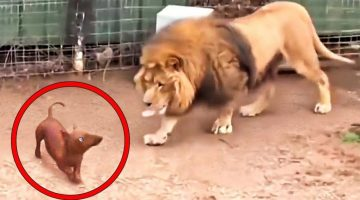 They Let a Dog in a Lion's Cage!
