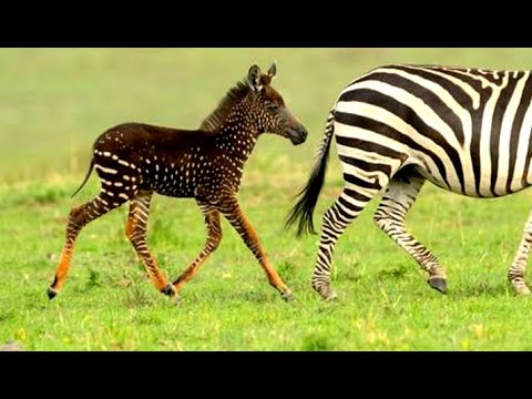 Privacy Policy >> Baby Zebra Born With Spots – 1Funny.com