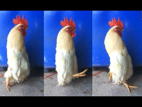 A Really Long Chicken – 1Funny.com
