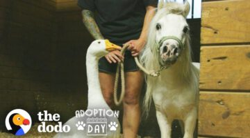 Rescued Goose, Mini Horse Are Inseparable