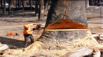 Amazing Chainsaw & Tree Cutting Skills